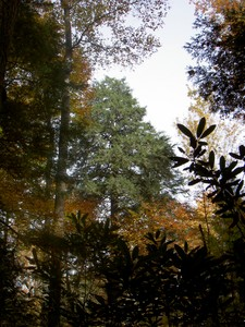 Opening in the canopy and an exceptionally bright green Hemlock