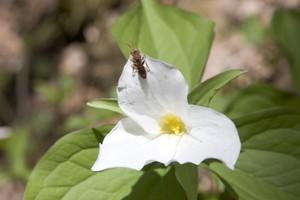 Bug on a Trillium bloom