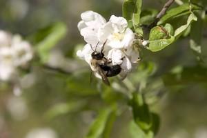 Bumblebee on an apple tree bloom