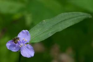Bee  landed on a spiderwort