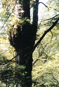 Interesting bulge on a tree with ferns growing on it