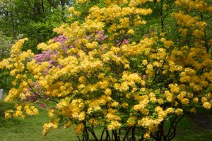 Flame Azalea at the Peaks of Otter visitors center