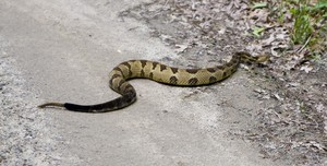 He's a Timber Rattler and he didn't seem too pleased at getting shoo'ed out of the road